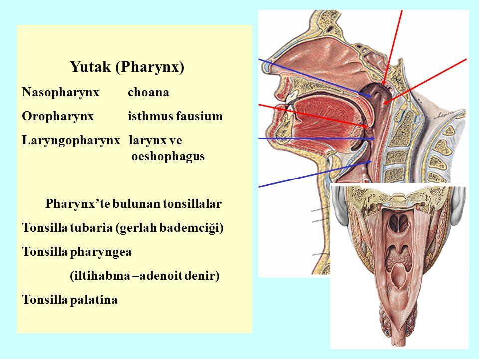 Yutak (Pharynx) Nasopharynx choana Oropharynx isthmus fausium