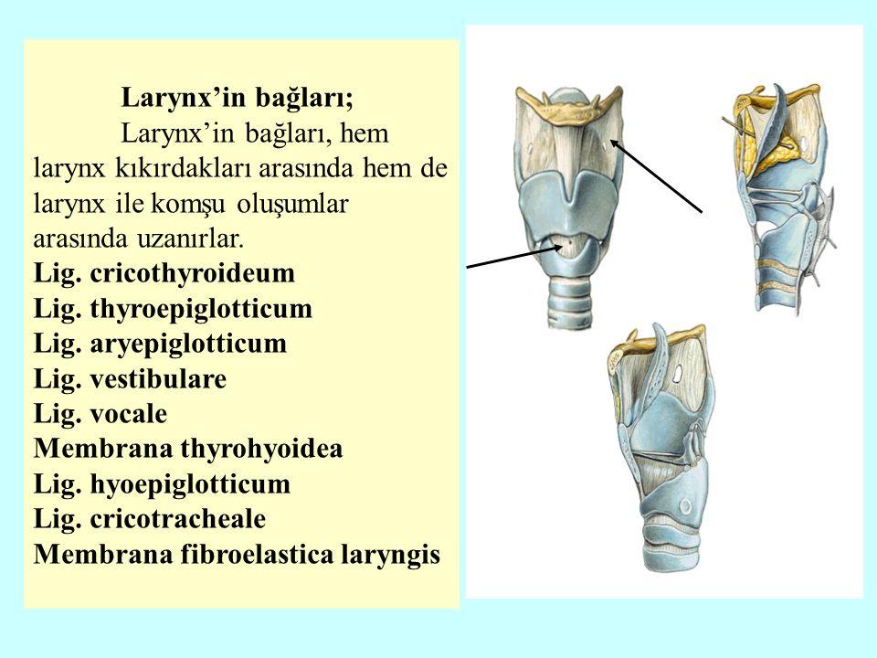 Larynx'in bağları; Larynx'in bağları, hem larynx kıkırdakları arasında hem de larynx ile komşu oluşumlar arasında uzanırlar.