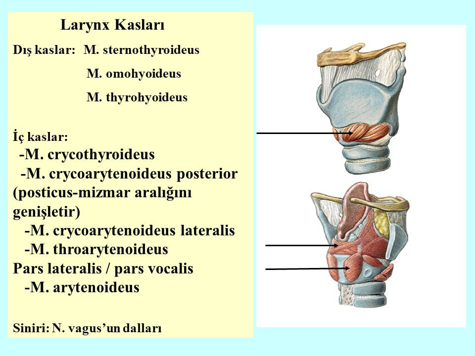 -M. crycoarytenoideus posterior (posticus-mizmar aralığını genişletir)