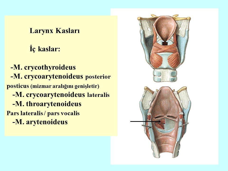 -M. crycoarytenoideus posterior posticus (mizmar aralığını genişletir)