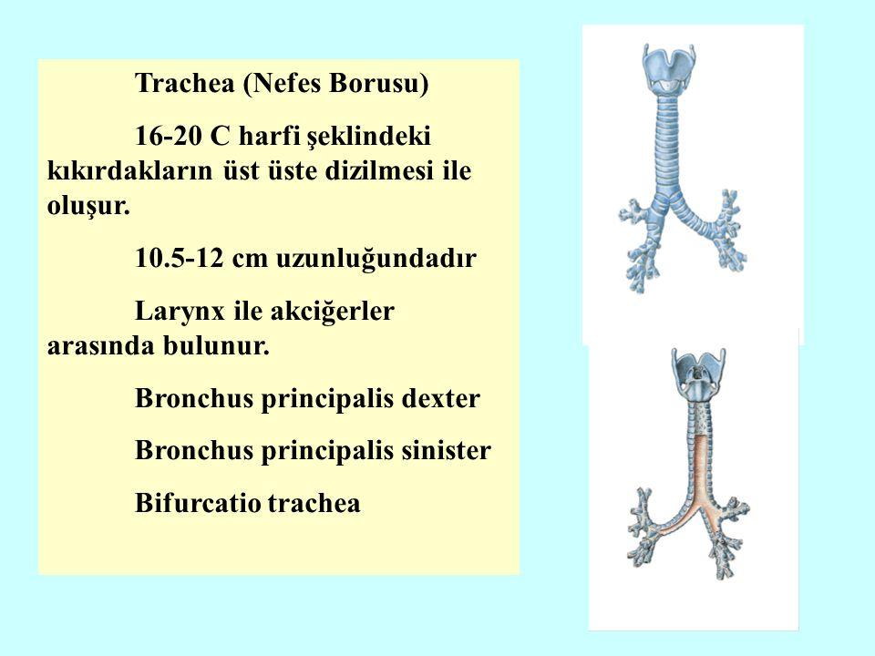 Trachea (Nefes Borusu)