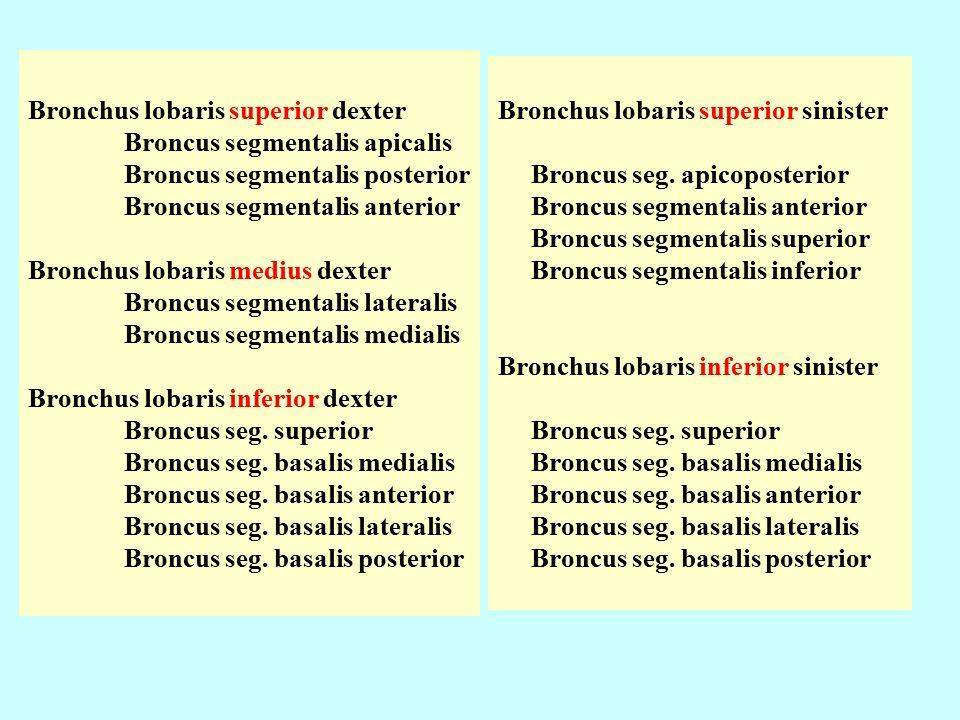 Bronchus lobaris superior dexter