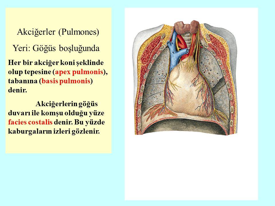 Akciğerler (Pulmones) Yeri: Göğüs boşluğunda