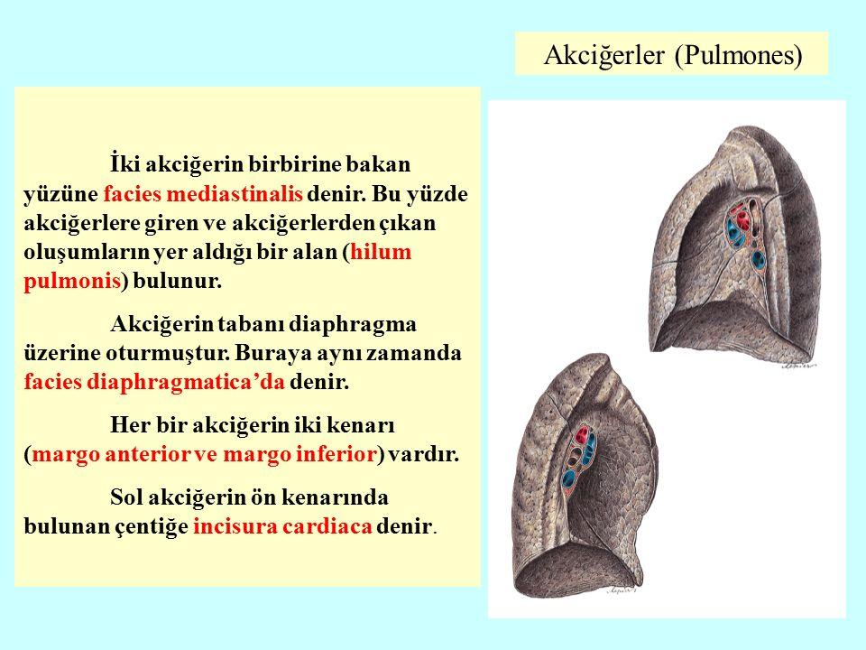Akciğerler (Pulmones)