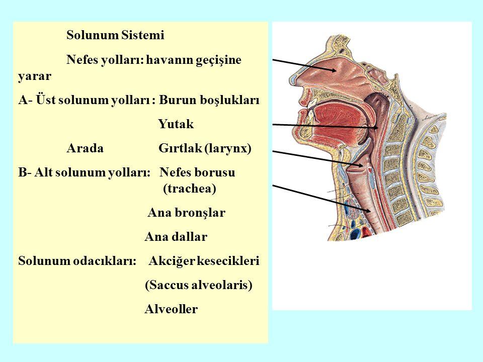 Solunum Sistemi Nefes yolları: havanın geçişine yarar