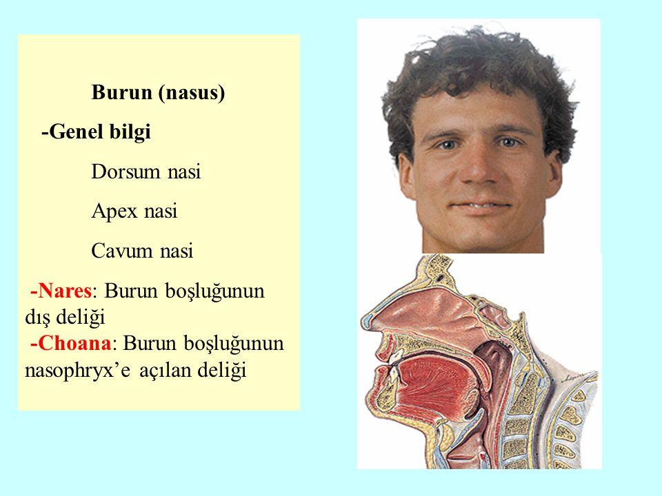 Burun (nasus) -Genel bilgi. Dorsum nasi. Apex nasi. Cavum nasi. -Nares: Burun boşluğunun dış deliği.