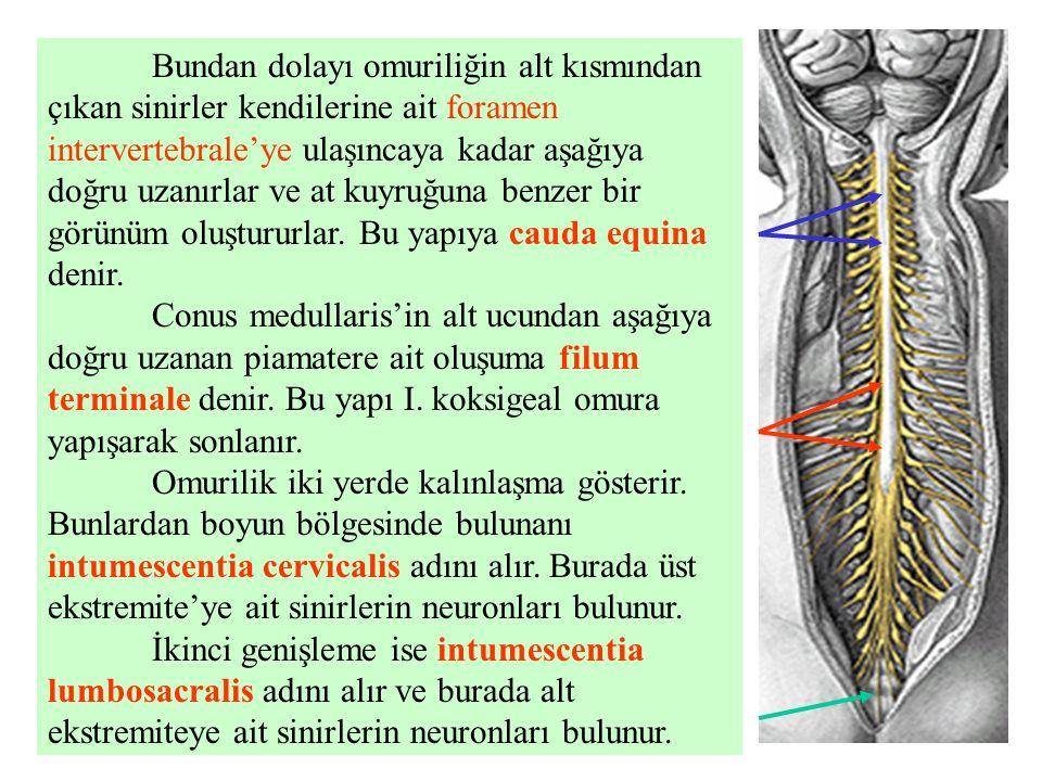Bundan dolayı omuriliğin alt kısmından çıkan sinirler kendilerine ait foramen intervertebrale'ye ulaşıncaya kadar aşağıya doğru uzanırlar ve at kuyruğuna benzer bir görünüm oluştururlar. Bu yapıya cauda equina denir.