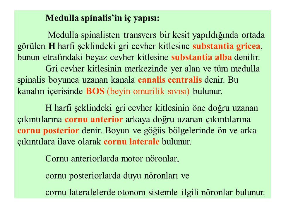Medulla spinalis'in iç yapısı: