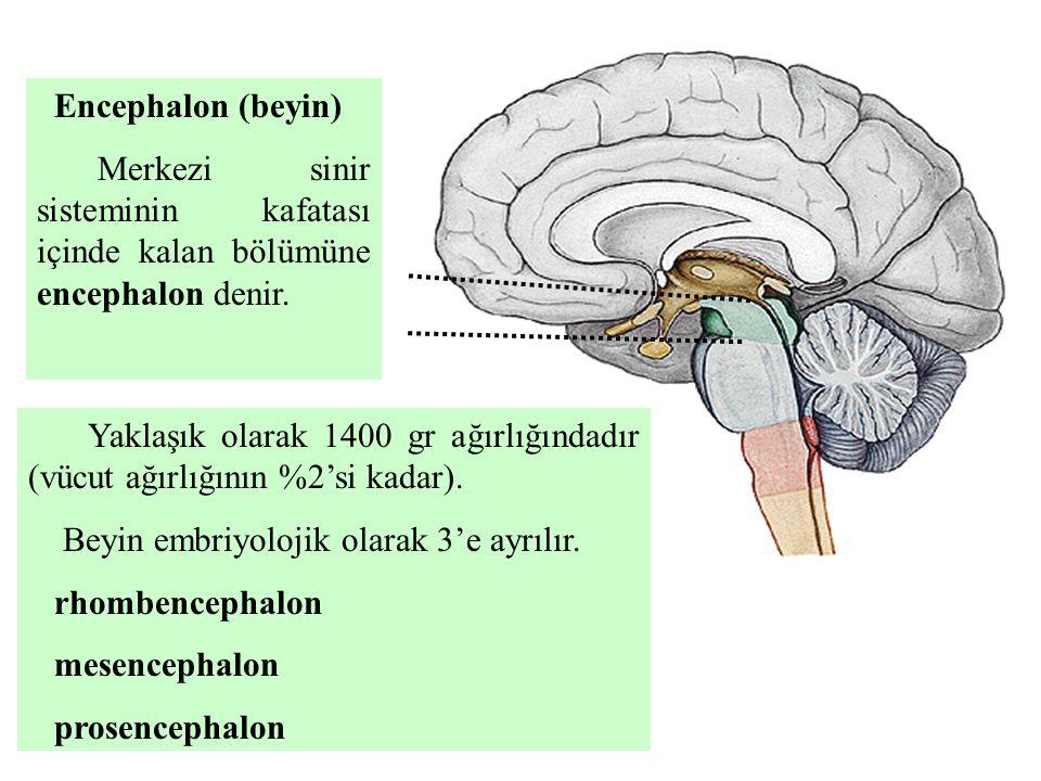 Encephalon (beyin) Merkezi sinir sisteminin kafatası içinde kalan bölümüne encephalon denir.