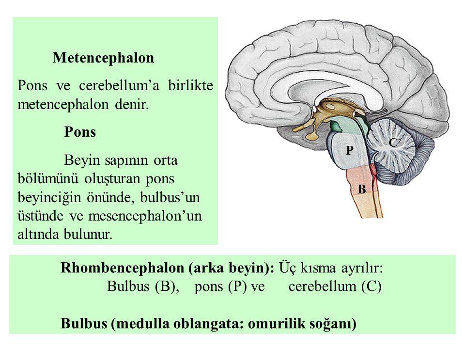 Pons ve cerebellum'a birlikte metencephalon denir.