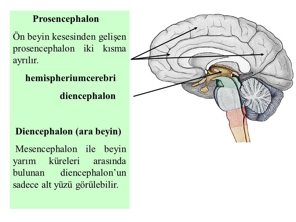 Prosencephalon Ön beyin kesesinden gelişen prosencephalon iki kısma ayrılır. hemispheriumcerebri.