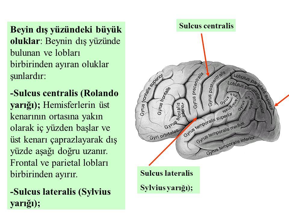 -Sulcus lateralis (Sylvius yarığı);