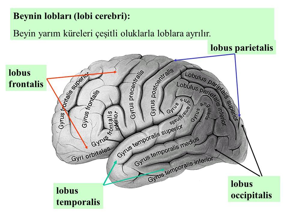 Beynin lobları (lobi cerebri):