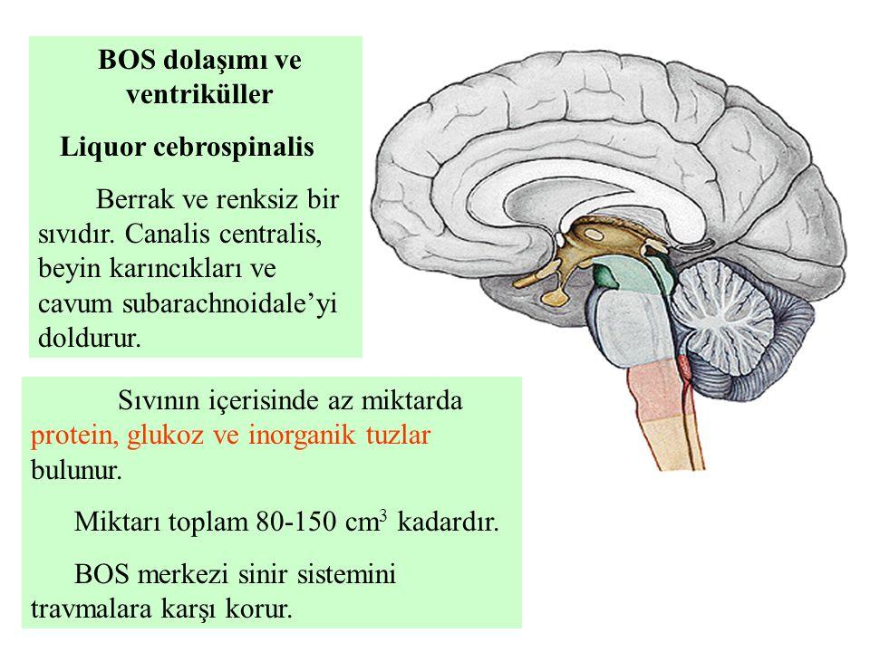 BOS dolaşımı ve ventriküller
