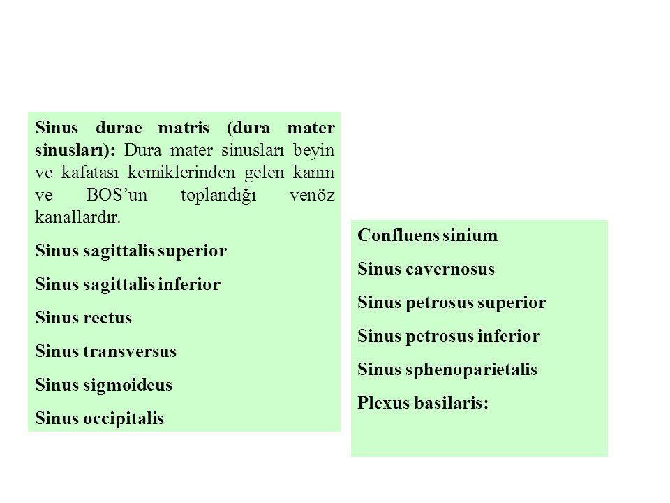 Sinus durae matris (dura mater sinusları): Dura mater sinusları beyin ve kafatası kemiklerinden gelen kanın ve BOS'un toplandığı venöz kanallardır.