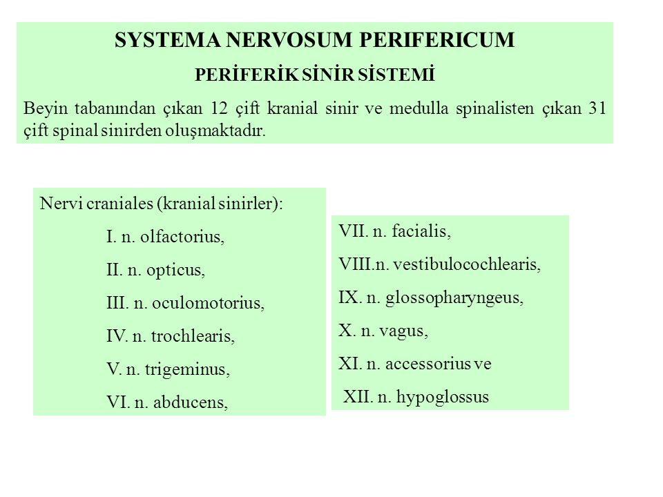 SYSTEMA NERVOSUM PERIFERICUM PERİFERİK SİNİR SİSTEMİ