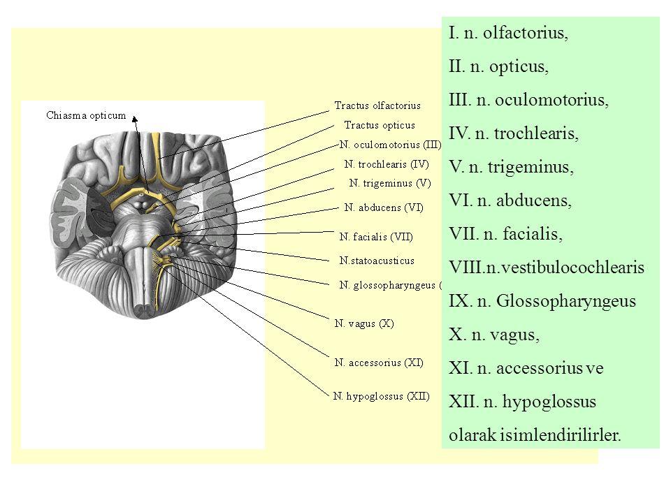 I. n. olfactorius, II. n. opticus, III. n. oculomotorius, IV. n. trochlearis, V. n. trigeminus, VI. n. abducens,