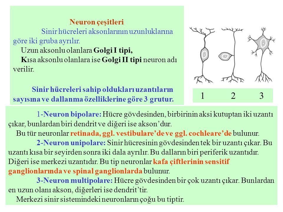 Neuron çeşitleri Sinir hücreleri aksonlarının uzunluklarına göre iki gruba ayrılır. Uzun aksonlu olanlara Golgi I tipi,