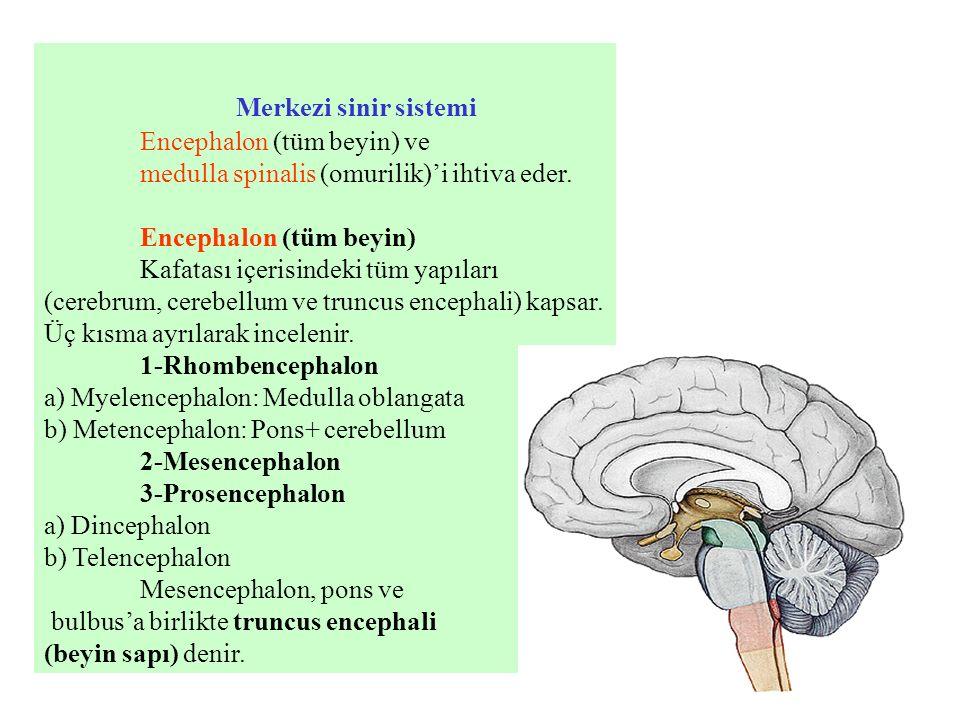 Merkezi sinir sistemi Encephalon (tüm beyin) ve