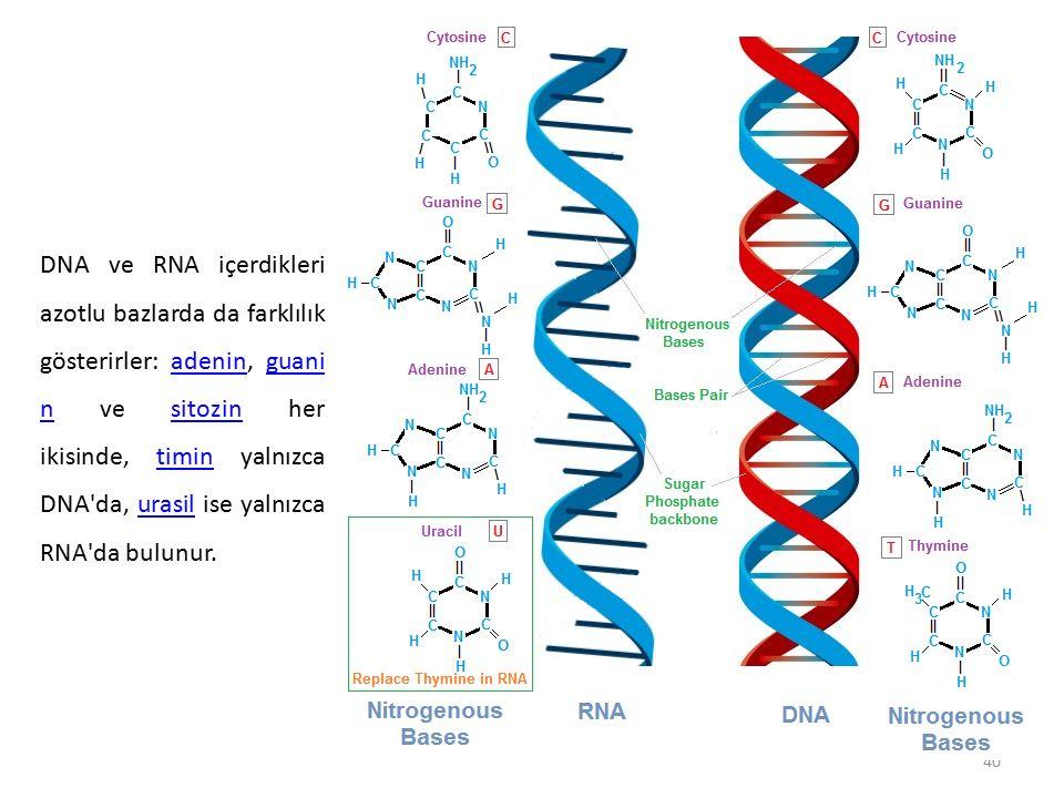 DNA ve RNA içerdikleri azotlu bazlarda da farklılık gösterirler: adenin, guanin ve sitozin her ikisinde, timin yalnızca DNA da, urasil ise yalnızca RNA da bulunur.
