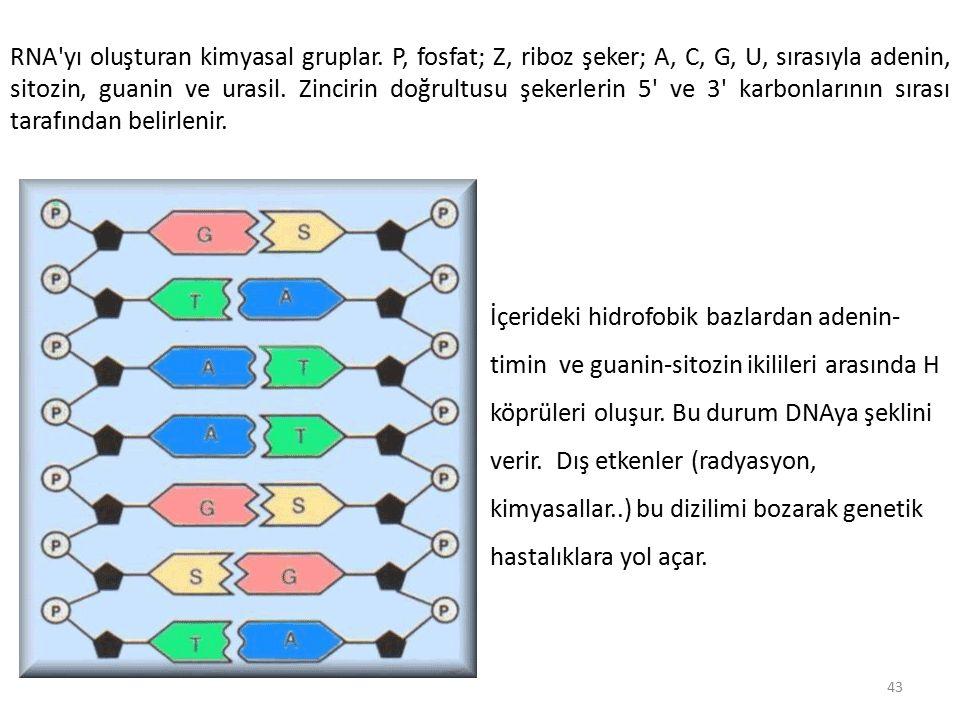 RNA yı oluşturan kimyasal gruplar