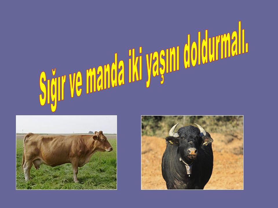 Sığır ve manda iki yaşını doldurmalı.