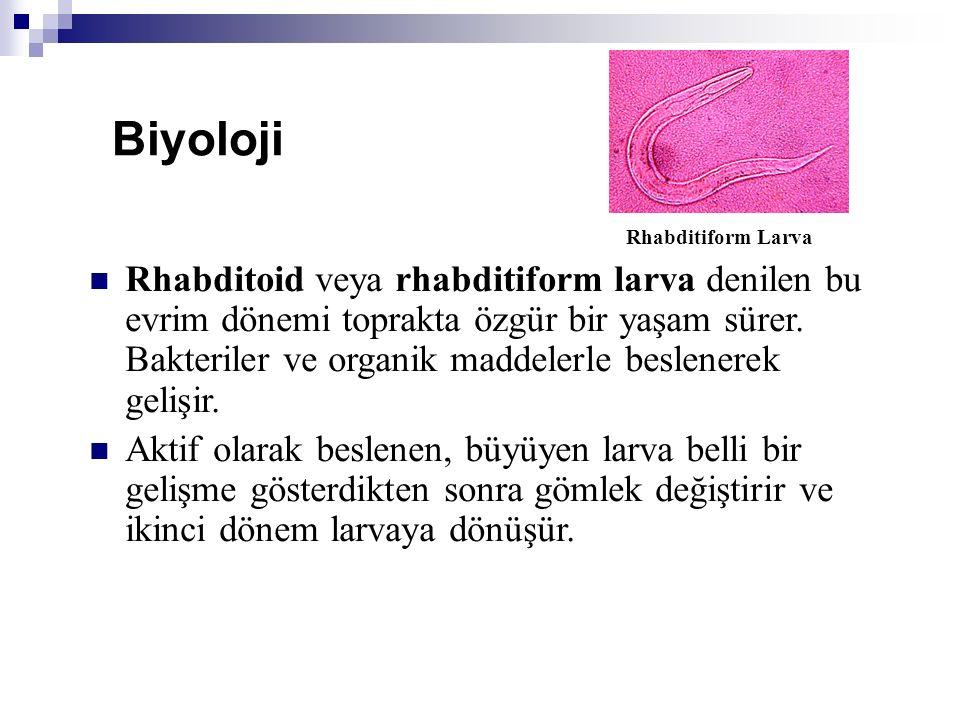 Biyoloji Rhabditiform Larva.