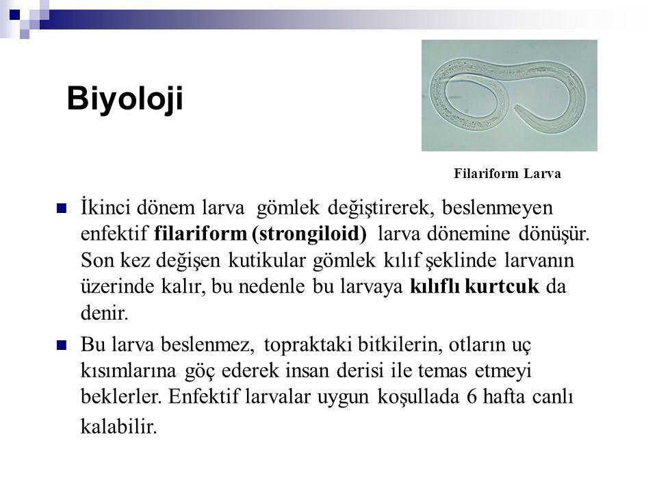Biyoloji Filariform Larva.