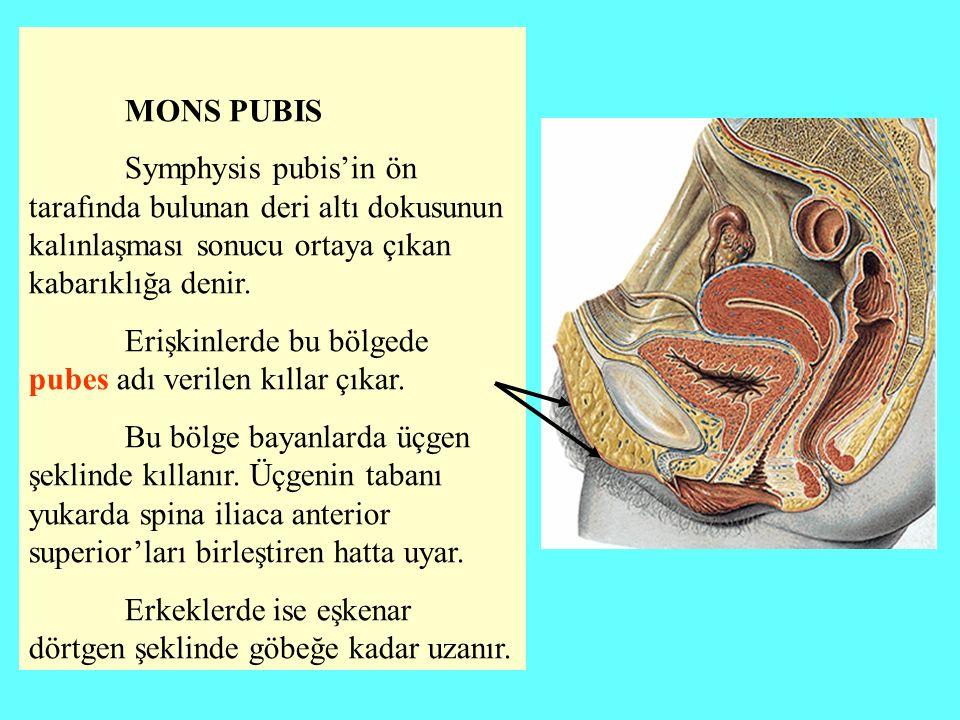 MONS PUBIS Symphysis pubis'in ön tarafında bulunan deri altı dokusunun kalınlaşması sonucu ortaya çıkan kabarıklığa denir.