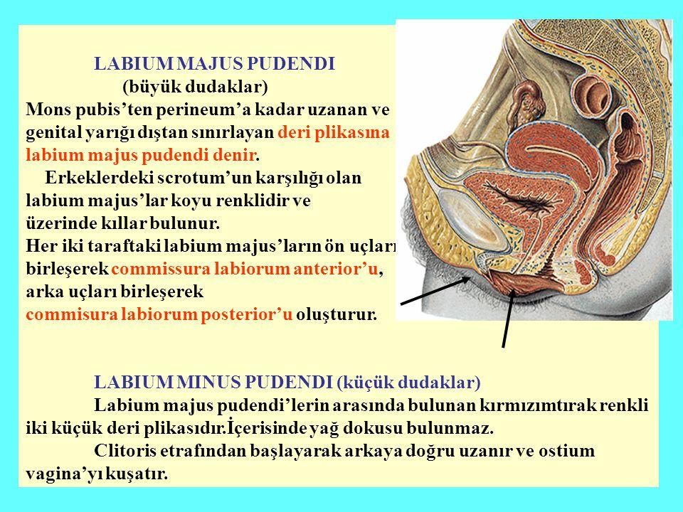 LABIUM MAJUS PUDENDI (büyük dudaklar) Mons pubis'ten perineum'a kadar uzanan ve. genital yarığı dıştan sınırlayan deri plikasına.