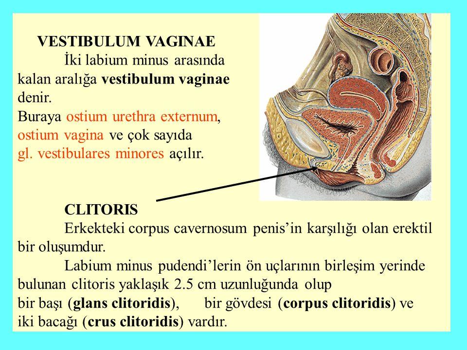 İki labium minus arasında kalan aralığa vestibulum vaginae denir.