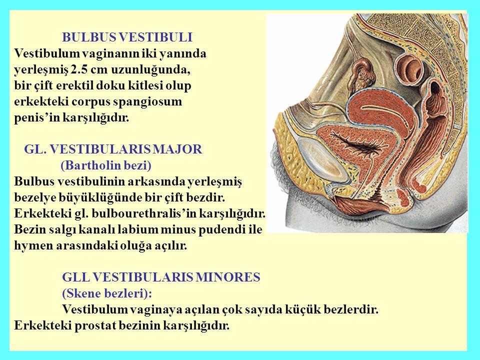BULBUS VESTIBULI Vestibulum vaginanın iki yanında. yerleşmiş 2.5 cm uzunluğunda, bir çift erektil doku kitlesi olup.