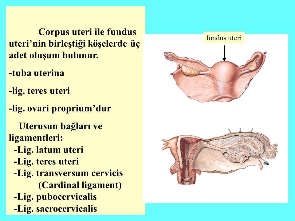 -lig. ovari proprium'dur Uterusun bağları ve ligamentleri: