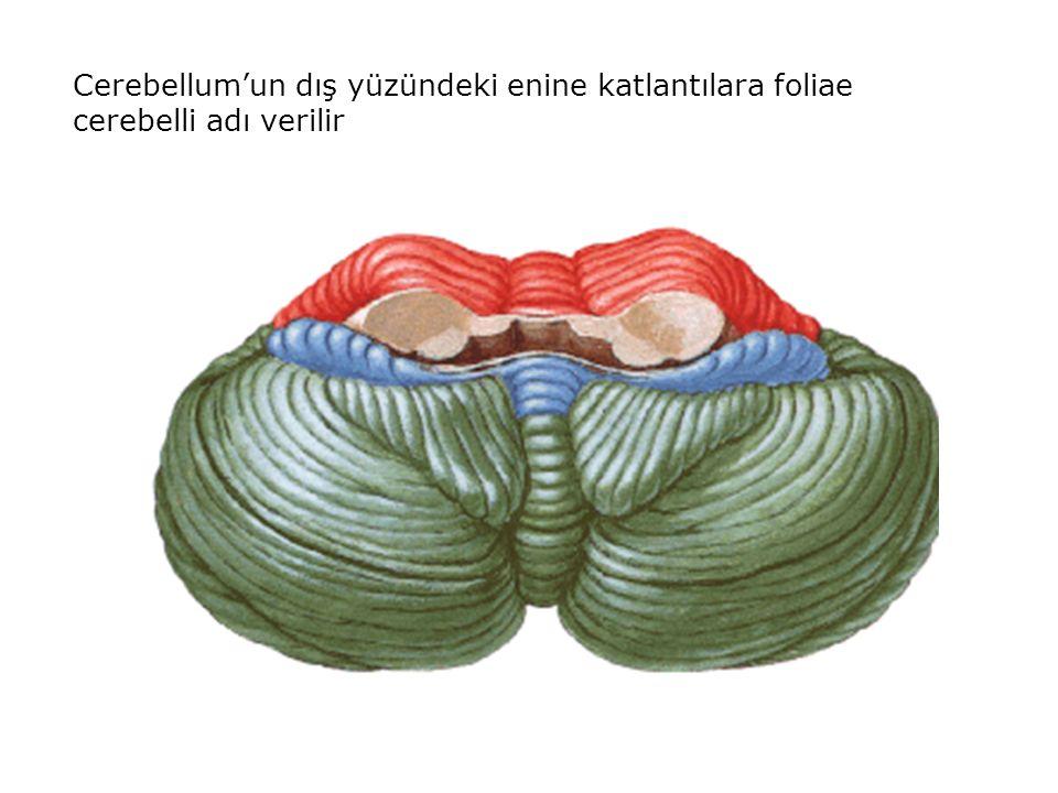 Cerebellum'un dış yüzündeki enine katlantılara foliae cerebelli adı verilir