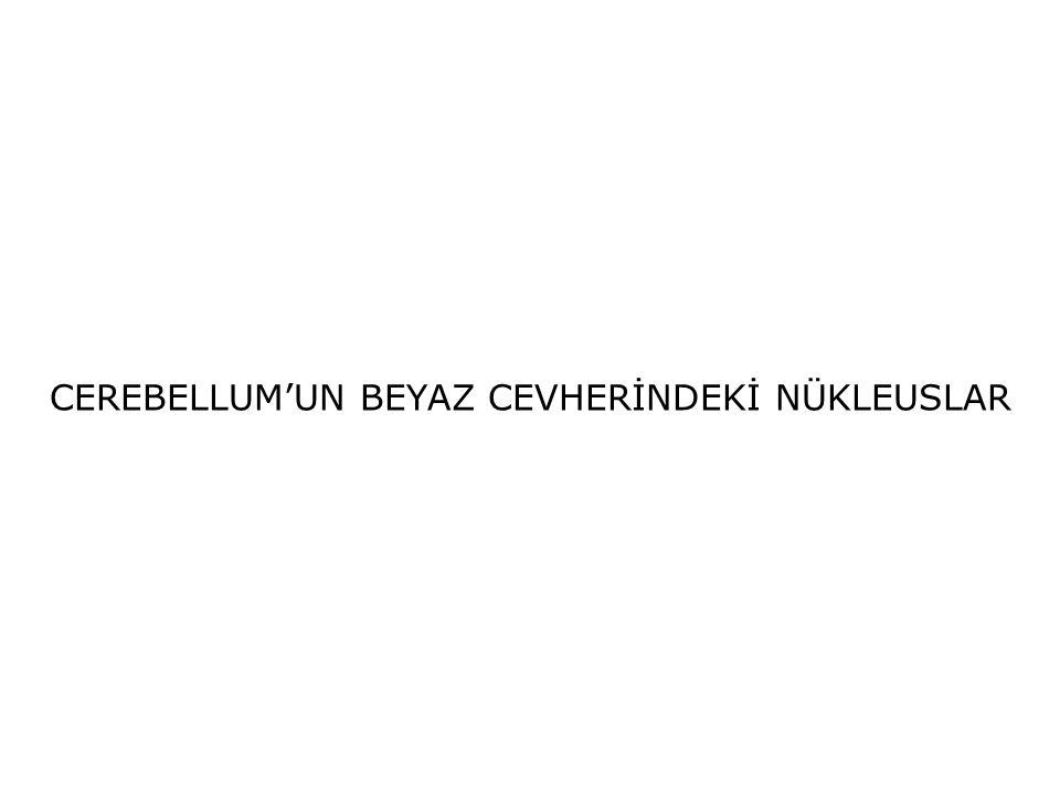 CEREBELLUM'UN BEYAZ CEVHERİNDEKİ NÜKLEUSLAR