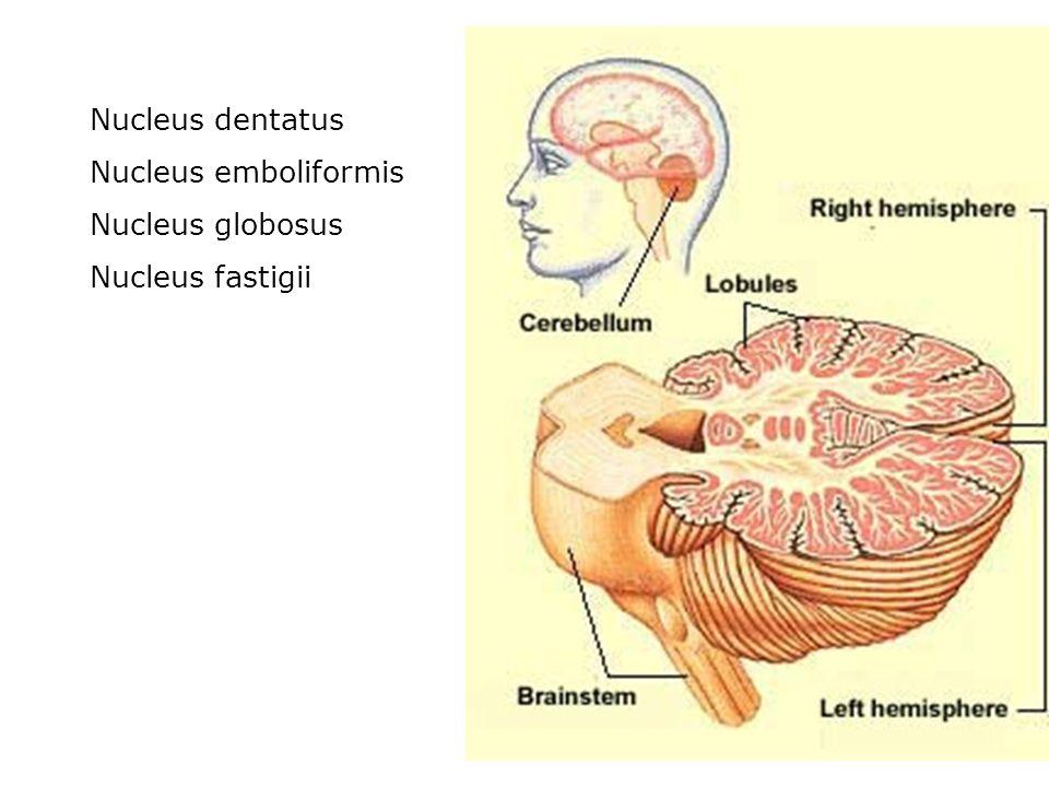 Nucleus dentatus Nucleus emboliformis Nucleus globosus Nucleus fastigii