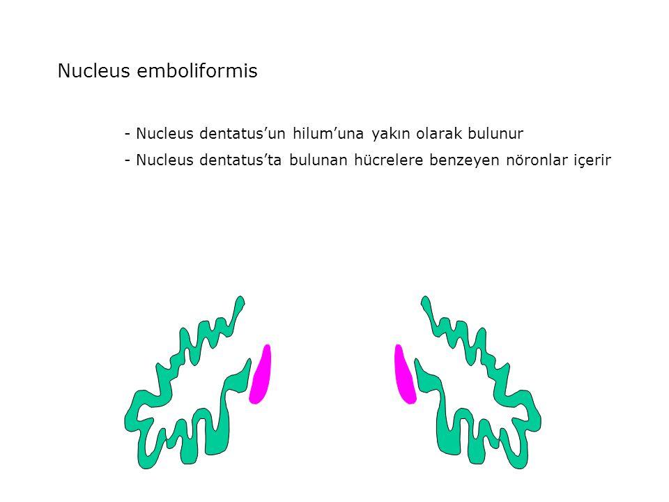 Nucleus emboliformis - Nucleus dentatus'un hilum'una yakın olarak bulunur.