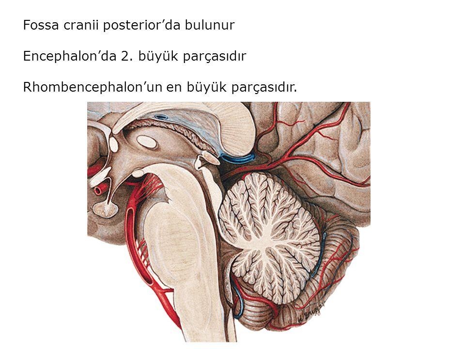 Fossa cranii posterior'da bulunur
