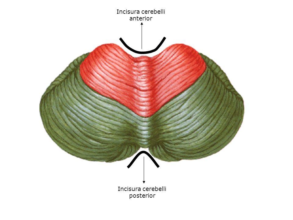 Incisura cerebelli anterior Incisura cerebelli posterior