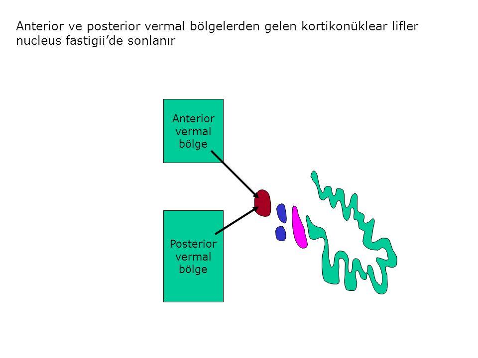 Anterior ve posterior vermal bölgelerden gelen kortikonüklear lifler nucleus fastigii'de sonlanır