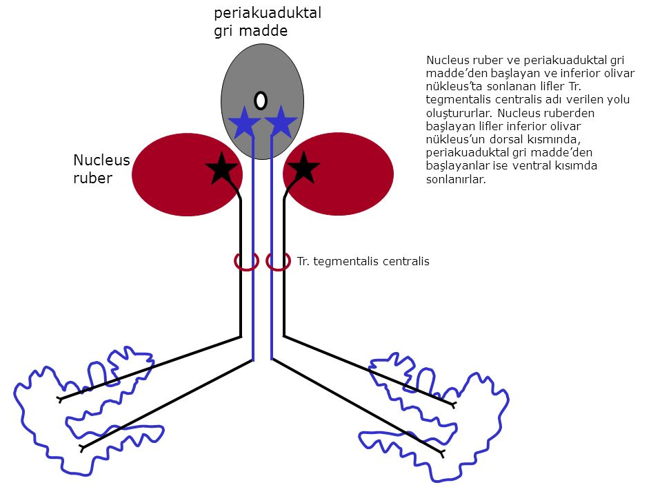 periakuaduktal gri madde Nucleus ruber