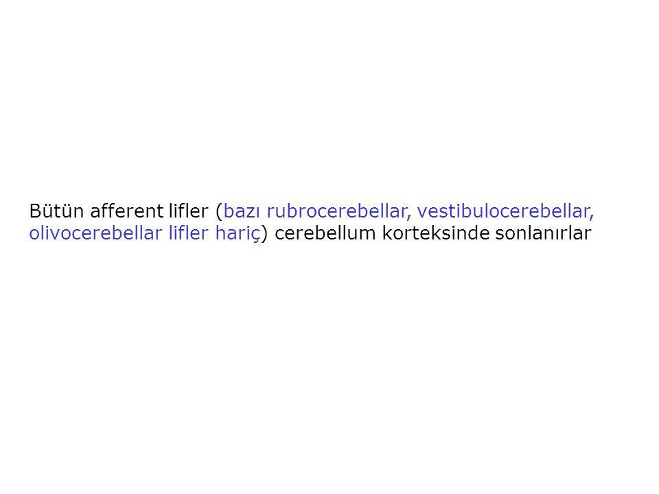 Bütün afferent lifler (bazı rubrocerebellar, vestibulocerebellar, olivocerebellar lifler hariç) cerebellum korteksinde sonlanırlar