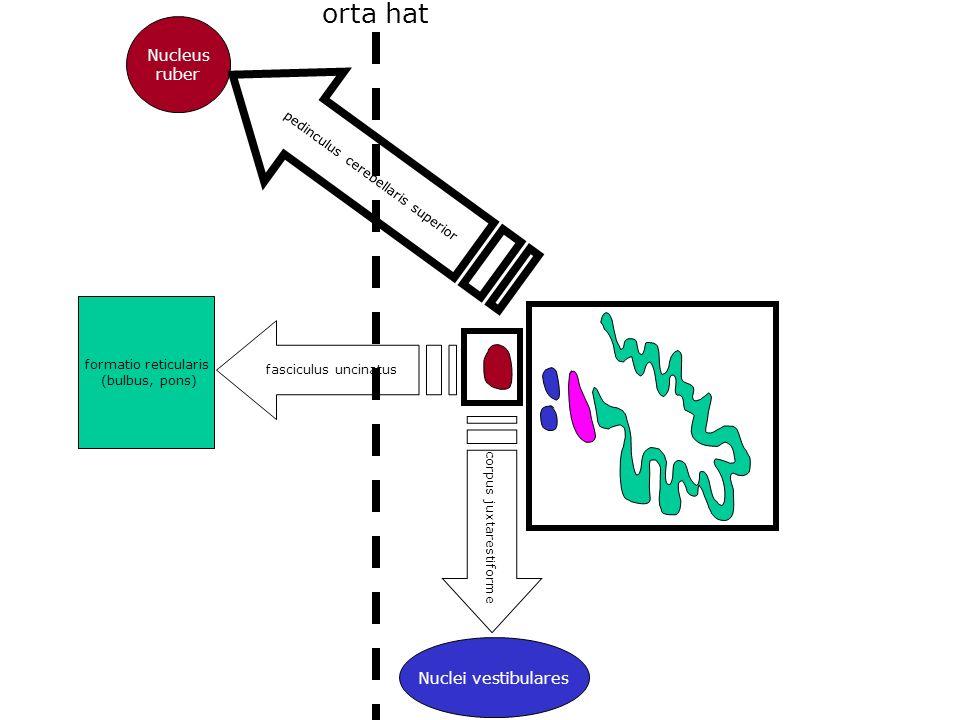 orta hat Nucleus ruber Nuclei vestibulares
