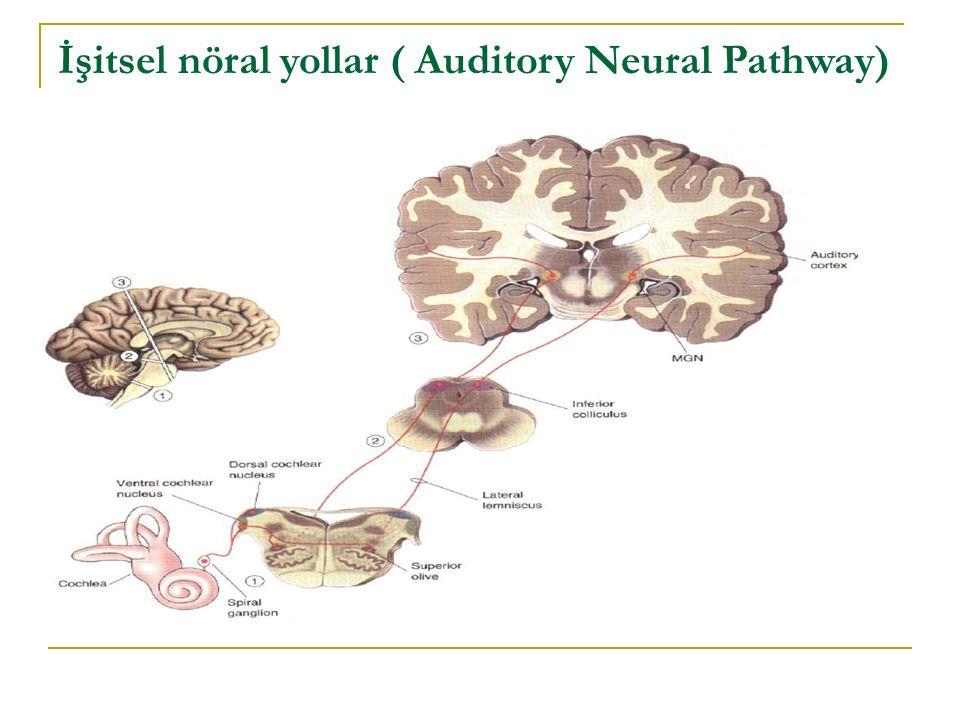 İşitsel nöral yollar ( Auditory Neural Pathway)