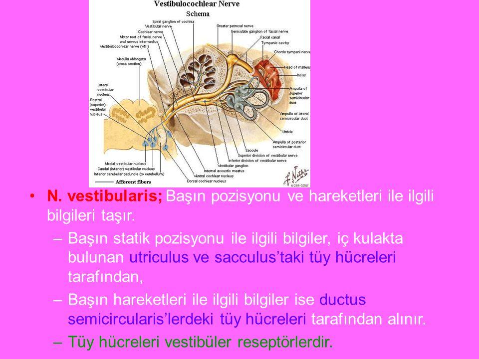 a N. vestibularis; Başın pozisyonu ve hareketleri ile ilgili bilgileri taşır.