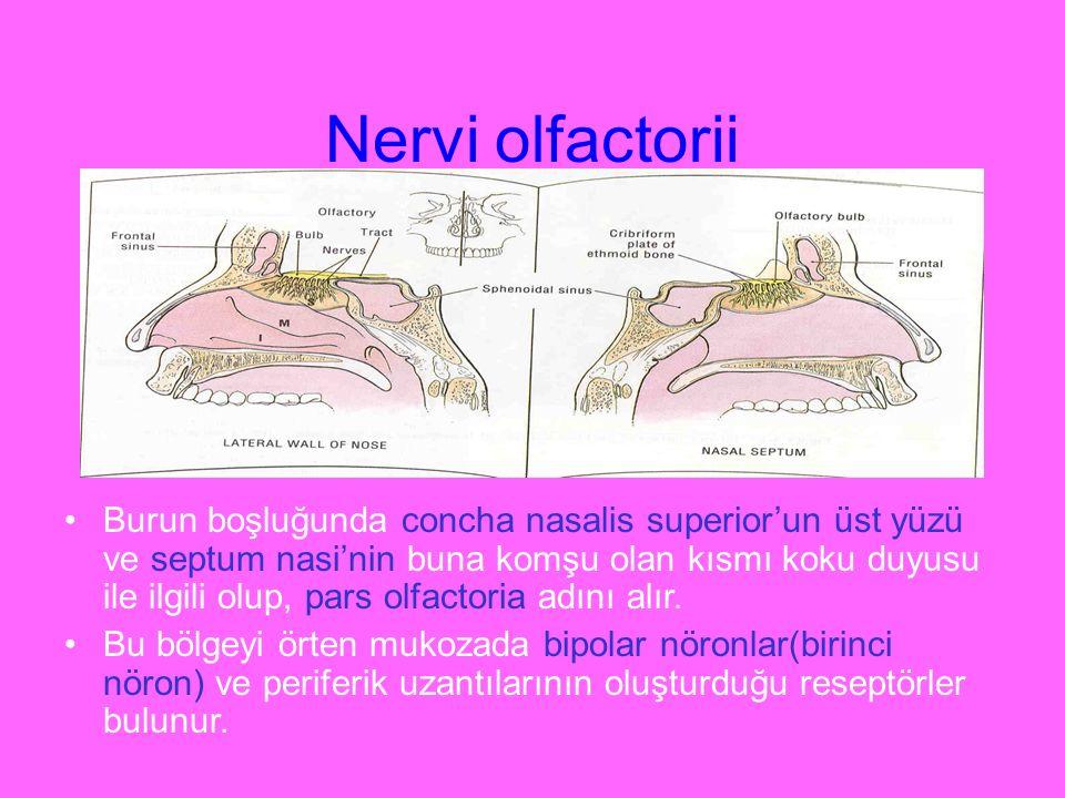 Nervi olfactorii