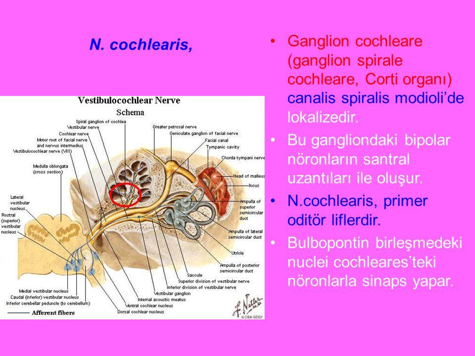 N. cochlearis, Ganglion cochleare (ganglion spirale cochleare, Corti organı) canalis spiralis modioli'de lokalizedir.