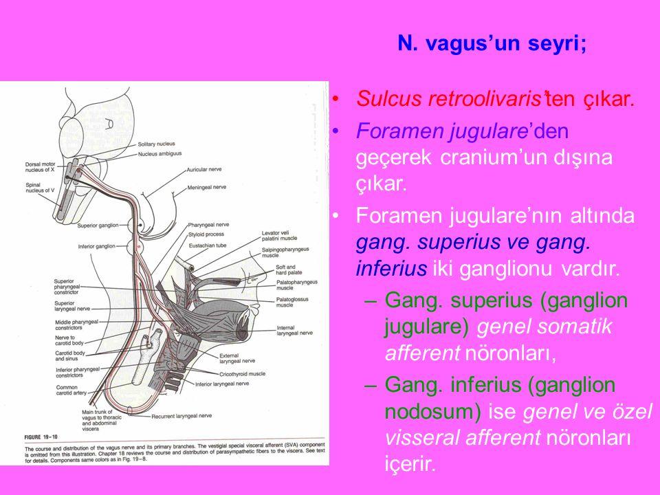 N. vagus'un seyri; Sulcus retroolivaris'ten çıkar. Foramen jugulare'den geçerek cranium'un dışına çıkar.