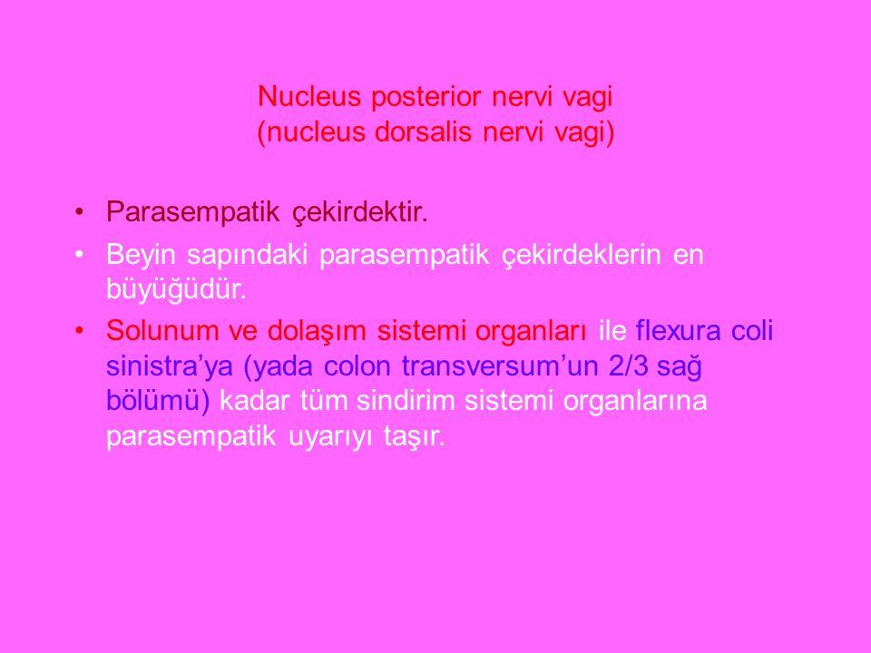 Nucleus posterior nervi vagi (nucleus dorsalis nervi vagi)