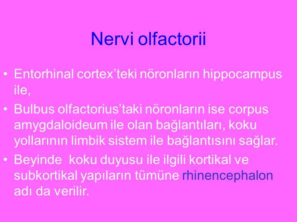 Nervi olfactorii Entorhinal cortex'teki nöronların hippocampus ile,